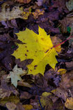 Maple Leaf. Yellow fallen maple leaf lying on the ground Royalty Free Stock Image