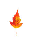 Maple leaf Stock Photos