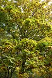 Maple leafage and samaras in autumn. Maple tree leafage and samaras in autumn Stock Photography