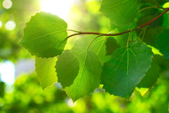 Maple leafes in Summer Sun. Maple leafes in rays of Summer Sun Royalty Free Stock Photo