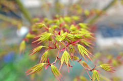 Maple leaflets. Image of new leaflets on a Japanese maple Stock Photography