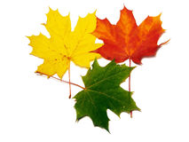 Maple leafs. Autumn leafs colors. 3 in 1 Royalty Free Stock Photography