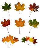 Maple leafs. Autumn collection of maple leafs Stock Photo