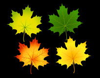 Maple Leafs. Colored maple leaves separately Royalty Free Stock Photo