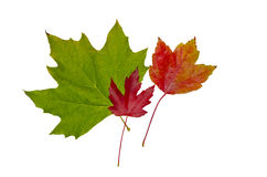 Maple leafs stock photography