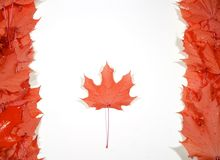 Maple leafs. On white background. Image of Canadian Flag royalty free stock photography