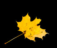 Maple leafs in autumn Royalty Free Stock Images