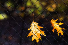 Maple leafs in autumn Stock Photography