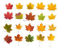 Maple leafs. Canadian red yellow and green leaves isolated on white Royalty Free Stock Images