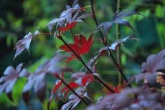 maple leafs czerwone Zdjęcia Royalty Free