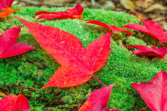 Maple leafs and green Moss Royalty Free Stock Photo