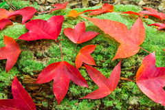 Maple leafs and green Moss Royalty Free Stock Images