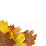 Maple leafs. Maple leaves on a white background Stock Image