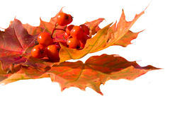Maple leafs and Mountain ash berrys. Mountain ash berry on maple leafs Stock Photography