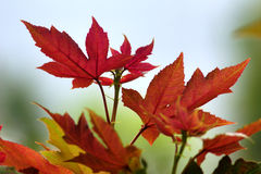 Maple leafs in red color Royalty Free Stock Photo