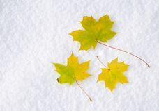 Maple leafs in snow Stock Images