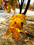 Maple leafs on a tree in autumn Stock Photo