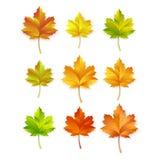 Maple leafs vector illustration vector illustration