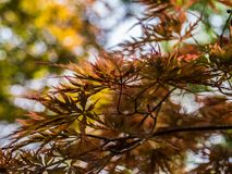 Maple leave. stock image