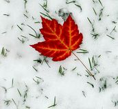 Maple Leave stock photo