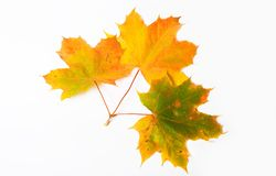 Free Maple Leave Stock Photography - 3283762