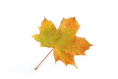 Maple leave Stock Photography
