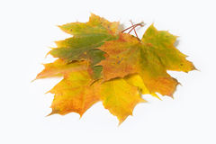 Maple leave Stock Photo