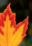 Maple Leave Royalty Free Stock Images