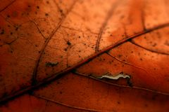 Maple leave. Changing colors orange and red Royalty Free Stock Photo