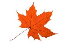 Maple Leave Stock Photos