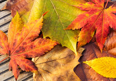 Maple leave in autumn Stock Images