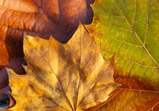 Maple leave in autumn Royalty Free Stock Photography