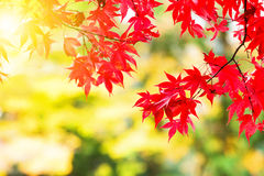 Maple leave in autumn Stock Image