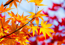 Maple leave in autumn Stock Photography