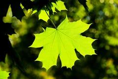 Maple leave, backlit Stock Photo