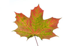 Maple leave close up Stock Image