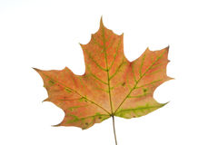 Maple leave close up Stock Photography
