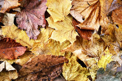 Maple leave full frame background in autumn Stock Images