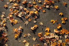Maple leave on ground Royalty Free Stock Images