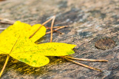 Maple leave and needles on wooden bank Stock Photo