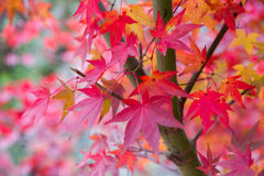 Maple leave. Season change, Autumn in Japan Royalty Free Stock Photo