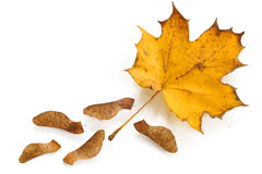 Maple leave and seeds,  isolated on a white Royalty Free Stock Photography