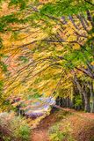 Maple Leave Tunnel in Japan. Kawaguchi, Japan at the maple leave tunnel royalty free stock image