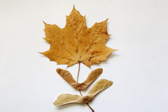 Maple Leave with Two Bow Tie Seeds Stock Image
