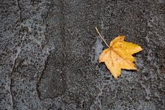 Maple leave on wet road, top view. Maple leave on wet rainy road, top view stock images