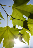 Maple Leaves. Three maple leaves with the sunlight behind Stock Image