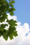 Maple leaves. Against a background of the sky royalty free stock photography