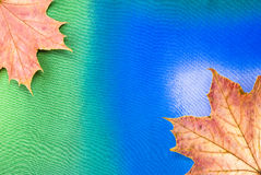 Maple leaves. Arranged on colorful textured background Stock Images