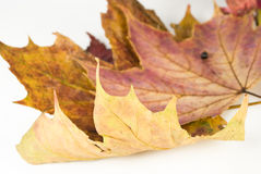 Maple leaves. With focus on foreground isolated on white background Royalty Free Stock Images