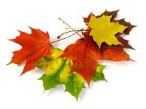 Maple leaves. Some bright autumnal maple leaves on white Royalty Free Stock Photos
